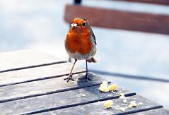CAKE... (tommypatto : ~ IMAGINE.) Tags: birds robin bodnantgardens