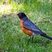 Super bird - American Robin (Turdus migratorius)