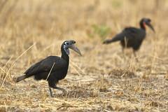 Ground hornbill (Jonas Van de Voorde) Tags: pendjari benin westafrica jonasvandevoorde safari wildlife nature animals bucorvusabyssinicus groundhornbill grandcalaodabyssinie