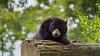 Time to sleep with teddy (Metaljisawa) Tags: bear teddy ours spectacled tremarctos ornatus green black noir arbres arbre tree trees wild wildlife