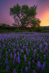 Violet Visions (Willie Huang Photo) Tags: california hills lupine flowers wildflowers bloom spring oak landscape nature scenic sunset sunrise