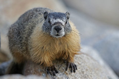 Yellow-bellied Marmot (Alan Gutsell) Tags: yellowbellied marmot yellowbelliedmarmot yellow bellied salmon arms canon mountain squirrel animal