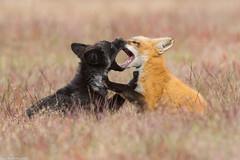 red fox kits at play washington (lee barlow) Tags: nikon800mm ngc predator washingtonstate vulpesvulpes leebarlow redfox sanjuanisland d7200 nikon