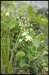 Wild Flowers (FranzRobert) Tags: wild flowers danube vienna river riverside