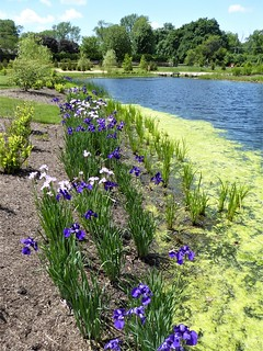 Wheaton, IL, Cantigny Park, Pond with Border of Iris Flowers