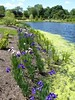 Wheaton, IL, Cantigny Park, Pond with Border of Iris Flowers (Mary Warren 10.6+ Million Views) Tags: wheatonil cantignypark nature flora plants green leaves foliage blooms blossoms flowers water pond blue algae iris garden park