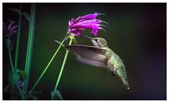 When the time is right (Krasne oci) Tags: hummingbird hummingbirdinflight birdinflight bird birdfeeding tinybirds flowers flowerart annashummingbird garden nature evabartos artphotography fineart