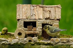 young blue tit and little house (2) (Simon Dell Photography) Tags: blue tit tiny borrower house simon dell photography nature wildlife sheffield england summer spring garden bird hackenthorpe s12 2018