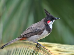 Red-Whiskered Bulbul (SivamDesign) Tags: canon eos 550d rebel t2i kiss x4 300mm tele canonef300mmf4lisusm bird fauna backyard redwhiskered bulbul redwhiskeredbulbul pycnonotusjocosus pycnonotusjocosusfuscicaudatus