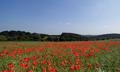 Moss valley poppies. (S.K.1963) Tags: elements poppy field poppies landscape trees blue sky mosborough moss valley sheffield england olympus omd em1 mkii 7 14mm 28 pro