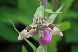 Lime Hawk-moth, Roudsea, Cumbria, England