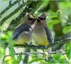 Cedar Waxwings (Summerside90) Tags: birds birdwatcher cedarwaxwings june spring serviceberry backyard garden nature wildlife ontario canada