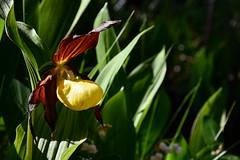 Frauenschuh (Bergfex_Tirol) Tags: bergfex orchid martinau lech oostenrijk cypripedium frauenschuh oesterreich orchidee autriche tirol österreich austria lechtal