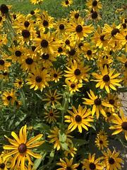 c2018 June 18, Yellow & Black Black-eye-susan (King Kong 911) Tags: flowers plants blooms yellow peach green elephant ears pots growing