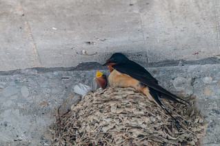 Barn Swallow with her Young