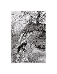 3. Fallen tree in the early morning light II (kotmariusz) Tags: tree nature poland 35mm filmphotography fallen świdnica monochrome blackandwhite bw monochrom monochromatyczny monochromatic olympusom40 ilfordxp2