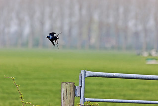 Hirundo Rustica in flight ... (7321)