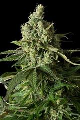 moby-dick-cbd (Watcher1999) Tags: moby dick cannabis strains cbd medicine treatment medical marijuana medial seeds growing weed smoking ganja legalize it