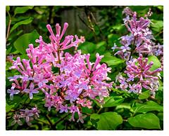French Lilac (Timothy Valentine) Tags: datesyearss plants 0518 blossom 2018 home eastbridgewater massachusetts unitedstates us