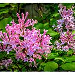 French Lilac thumbnail