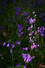 Aye blossom (ShinyPhotoScotland) Tags: bluebell harebell scotland kinclaven memories purple colour bokeh closeup fujixt20 minolta prime lens blur dof flower flora sentimental badmoviequotes codswallop