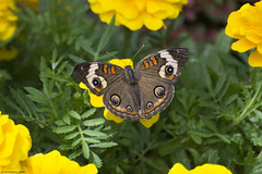 Butterfly 2018-36 (michaelramsdell1967) Tags: butterfly butterflies animal animals nature macro insect insects green buckeye upclose closeup vivid vibrant pretty beauty beautiful bug bugs lovely delicate ving wings garden spring flower detail yellow spots zen