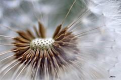 ethereal breath (yuturjpd) Tags: ethereal breath soplidos viento sony a5100 primavera macro tokina