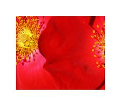 Parc de Cervantes 4 (2 Marvelous 4 Words (Blanca Gomez)) Tags: bcn barcelona parque park parcdecervantes roses rosaleda rosas flowers flores colors red yellow