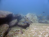 20180531-Shelly Paul-106 (frannyfish) Tags: shelly beach cabbage tree bay manly nsw scuba