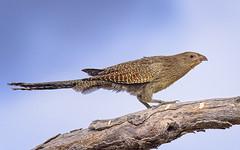 a pheasant coucal (non-breeding) (Fat Burns ☮ (gone bush)) Tags: pheasantcoucal centropusphasianinus cuckoo bird australianbird fauna australianfauna nature nikond750 sigma150600mmf563dgoshsmsports sigmateleconvtc1401nik lagooncreek feathers pheasant barcaldine