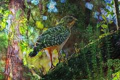 Hawkland (Karen Kleis (Back Sunday!)) Tags: hawk redshoulderedhawk green woodland woods bird birdart texture arteffects photomanipulation sharingart hypothetical awardtree netartii artdigital crazygeniuses