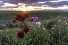 Flowers beside riverbank 河堤旁的野花 (T.ye) Tags: fraser river richmond red rose sunset clouds sunlight sun 太陽 花 玫瑰 夕陽 落日