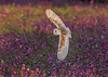 DSC5441  Barn Owl... (jefflack Wildlife&Nature) Tags: barnowl barns barny owl owls raptors birdsofprey birds bird avian animal animals wildlife wildbirds woodlands wetlands farmland forest fields moorland marshland meadows heathland hedgerows heathlands norfolk nature ngc npc