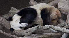 Let sleeping bears lie (Rita Petita) Tags: viewfrombridge xiaoliwu sandiegozoo sandiego california panda china giantpanda