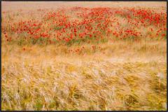 lots of poppies in the field (RalfK61) Tags: 2018 mohnblüten 06 felder juni