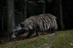 _MG_7992 (kurdeniewiemco) Tags: jenot raccoon dog wildlife cameratrap cameratraping canon 6d2 fotopułapka przyroda natura zwierzę animal photography