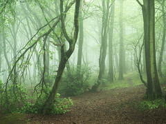 Storm Damage (Damian_Ward) Tags: ©damianward damianward beech trees chilterns chilternhills thechilterns fog mist oxfordshire wood forest woodland