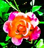 Rose through the fence (edited) (mohuski) Tags: natureplus contrastpuncheffect rose flower