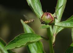 De pyjamazweefvlieg (Episyrphus balteatus) (eric zijn fotoos) Tags: bee bij sonyrx10m3 sony insect insekt nature natuur tuin garden zweefvlieg holland nederland the netherlands
