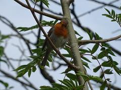 DSC08156 (guyfogwill) Tags: 2018 bird birds devon erithacusrubecula europeanrobin gbr guyfogwill june leechwellgarden robin totnes unitedkingdom