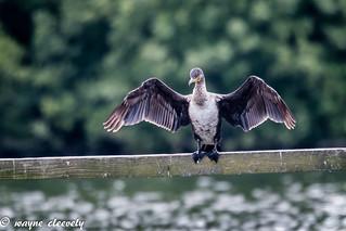 E16 Cormorant
