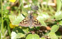 Chequered Skipper (DaveB_pxls) Tags: butterflies fortwilliam glasdrum scotland wildlife