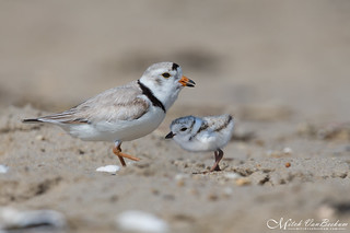 A New Addition - Piping Plovers (Endangered)