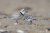 A New Addition - Piping Plovers (Endangered) (Mitch Vanbeekum Photography) Tags: pipingplover adult baby chick young piping plover charadriusmelodus nj newjersey mitchvanbeekum mitchvanbeekumcom canon14teleconvertermkiii canoneos1dx canonef500mmf4lisiiusm