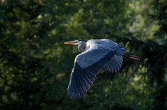 Heron flight (mysticislandphoto) Tags: wildlife bird heron greatblueheron cariboo flight explored nikon