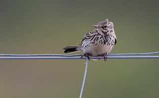 Bird on a wire Part 3 - Meadow Pipit, Mull