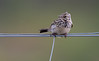 Bird on a wire Part 3 - Meadow Pipit, Mull (irelaia) Tags: bird wire mull scotland loch na keal