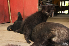 Kitten and Dog (morbidtibor) Tags: cat kat kater poes kitten dog banos ecuador