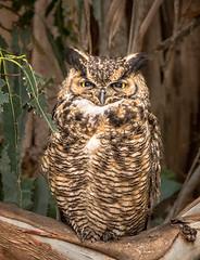 Great Horned Owl (alicecahill) Tags: california usa greathornedowl sanluisobispocounty bird centralcoast ©alicecahill sweetsprings owl raptor lososos animal