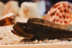 IMG_9029 (giltay) Tags: fish takumarsmc55mmf18